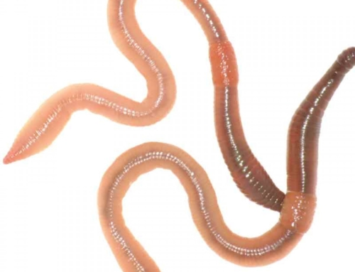 Why We Use Worms For Bait